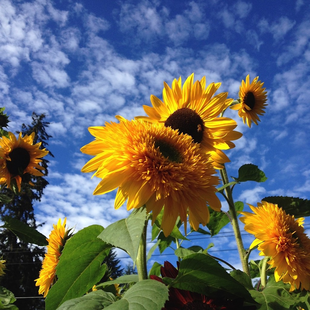 sunflower patch with bee 2015 aimee cartier blog