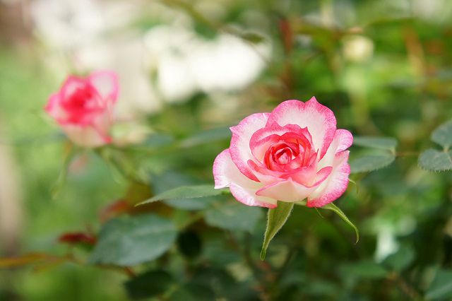 rose magic cc by T.Kiya